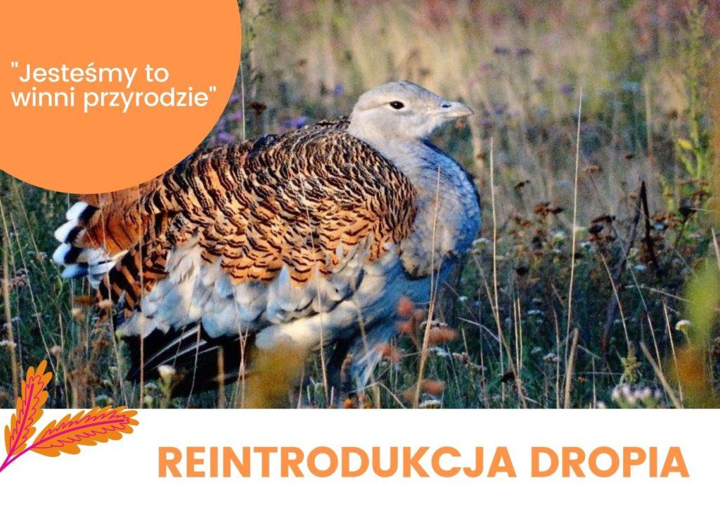 Koncepcja reintrodukcji dropia zwyczajnego Otis tarda w Polsce